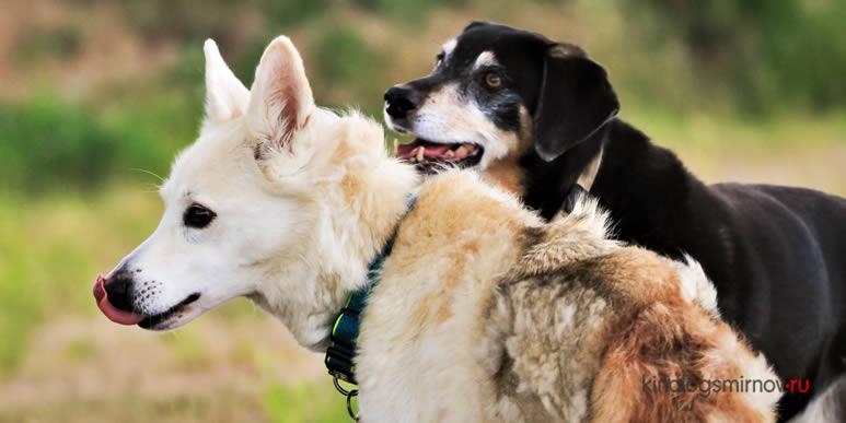 Обучать взрослых собак гораздо проще, чем щенков