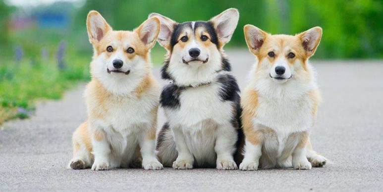 Корги: собаки-карлики из графств Кардиганшир и Пембрукшир