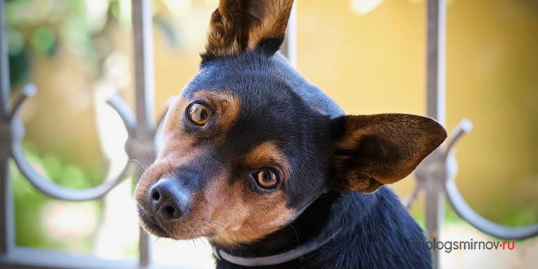 Глухота не приговор: особенности дрессировки собаки с нарушениями слуха