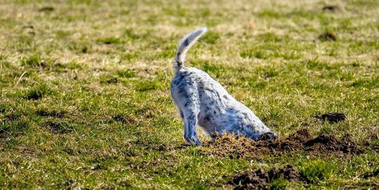 Как отучить собаку копать ямы? Статья для журнала