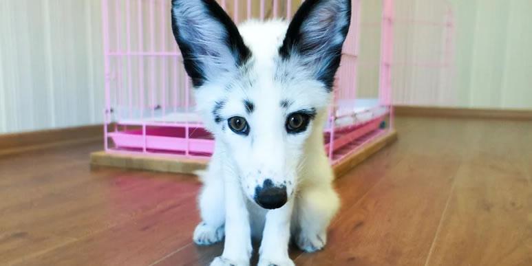 Можно ли вырастить дикого зверя похожим на домашнюю собаку? А главное- стоит ли?