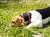 Зачем собаки едят траву