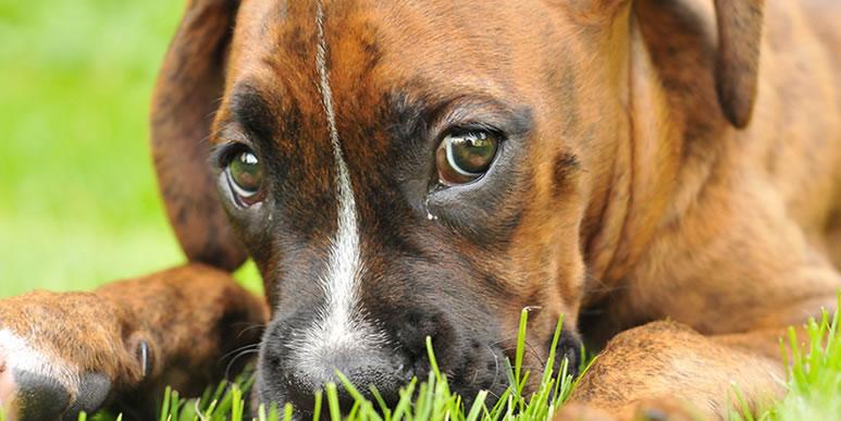 Стоит ли беспокоиться из-за грязи в уголках глаз собаки?