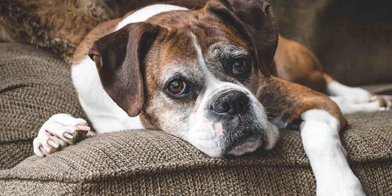 По каким признакам можно определить, что собаке больно
