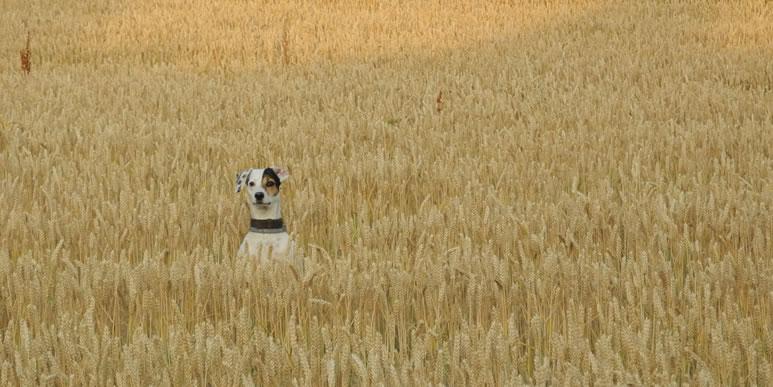 Глютен и прочие неприятности: зачем собакам беззерновые корма?