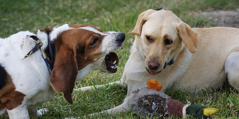 Рычание собаки в игре и в случае конфликта разное