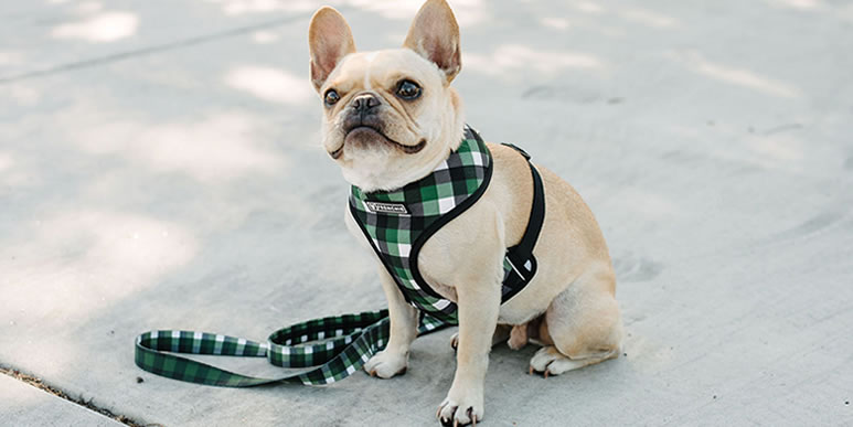 Что лучше выбрать для собаки: шлейку или обычный ошейник?