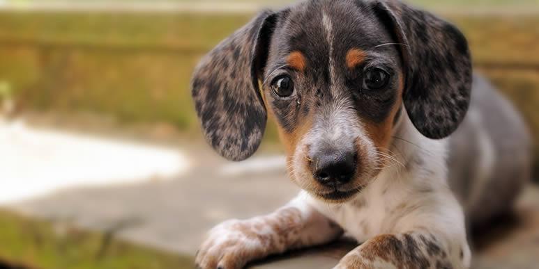 Как такса, пудель и ещё 17 пород собак получили свои названия