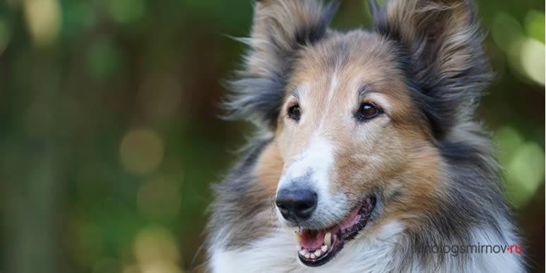 Станет ли собака спасать попавшего в беду хозяина?