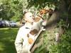 Видео: джек рассел Майло снова штурмует дерево