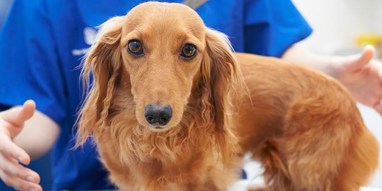 Нужно ли кастрировать или стерилизовать собаку?