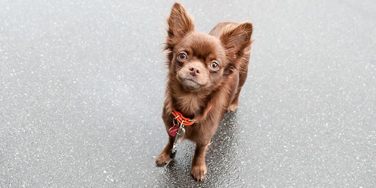 Нужны ли регулярные прогулки карликовым собакам?