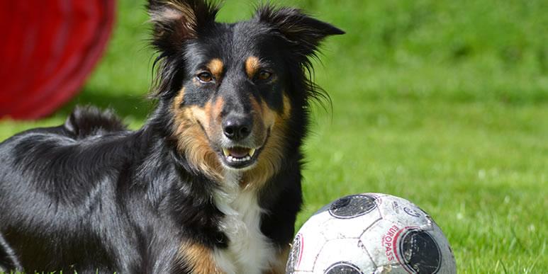 13 самых-самых: рейтинг наиболее обучаемых собак по версии AKC