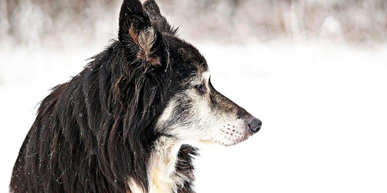 «Мое время приходит, друг»: серьезный разговор стареющей собаки с человеком