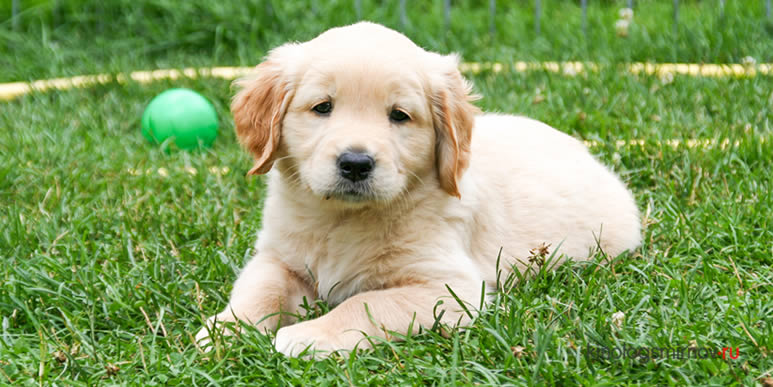 Стимуляция раннего развития щенка: правило семи семерок