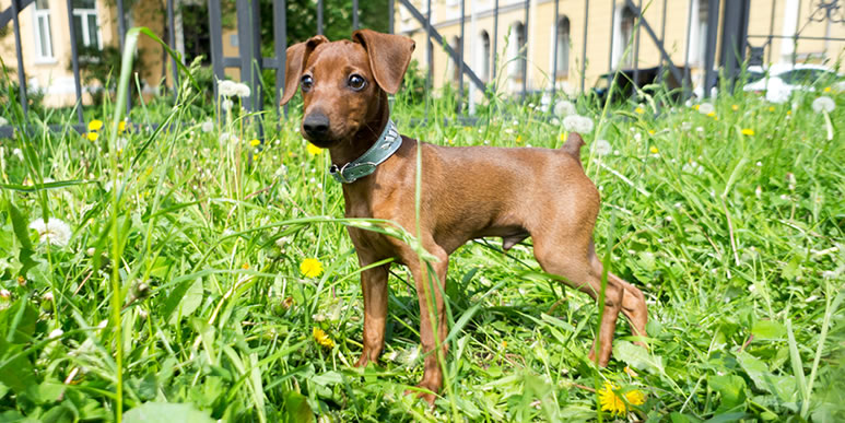 Генетика или воспитание: почему маленькие собаки так часто проявляют агрессию?