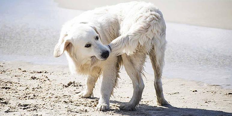 Охота за своим хвостом- веселое собачье развлечение или симптом заболевания?