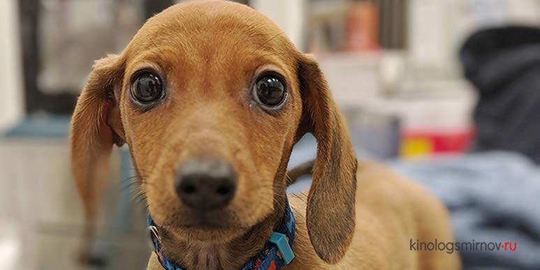 Где узнать правильный график вакцинации щенка, чтобы не опоздать с началом прогулок?